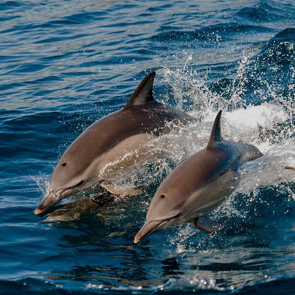 Dolphin Cruise Hurawalhi Maldives